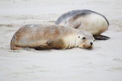 Утомленный новичок морсого льва стоковые изображения rf