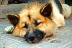 утомлянная собака Стоковое фото RF