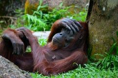 Утомленная женская обезьяна орангутана отдыхает против дерева с рукой на ее голове Стоковое Изображение