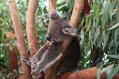 Утомленная коала спать Стоковые Фото