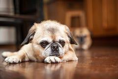 Утомленная собака Crossbreed мопса кладя на деревянный пол стоковые изображения