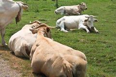 Утомленные и ленивые коровы лежа в зеленом луге Стоковая Фотография RF