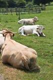 Утомленные и ленивые коровы лежа в зеленом луге Стоковое Фото
