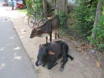 Утомленные коровы отдыхая на улице в Шри-Ланке Стоковые Изображения