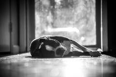 Утомленный терьер Бостона кладя в Солнце Стоковая Фотография