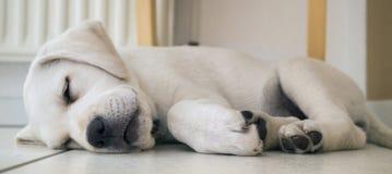 Утомленный щенок собаки лаборатории на том основании спать Стоковая Фотография RF
