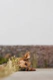 Утомлянный как собака Стоковые Фото