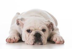 утомлянный щенок Стоковая Фотография