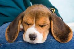 утомлянный щенок Стоковое Фото