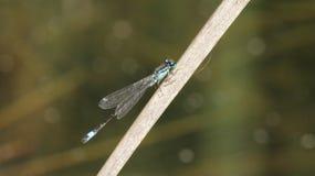 Утомлянный Dragonfly Стоковая Фотография