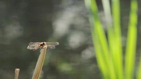 Утомлянный Dragonfly Стоковые Фото