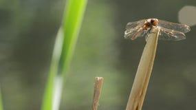 Утомлянный Dragonfly Стоковые Изображения