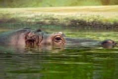 утонутый гиппопотам Стоковая Фотография RF