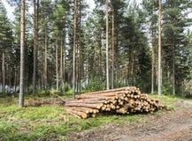 Утончать в сосновом лесе стоковые изображения rf