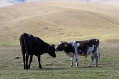 Утончите коров в горах Стоковое Изображение