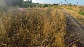 Утро в деревне над ушами пшеницы видеоматериал