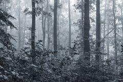 Утро в древесинах Утро тумана в древесинах черная белизна Стоковые Фотографии RF