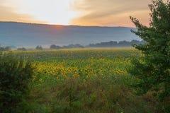 Утро в поле солнцецвета Стоковое фото RF
