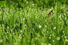 утро зеленого цвета травы падений росы Стоковое Изображение RF