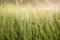 утро зеленого цвета травы росы Стоковое Фото