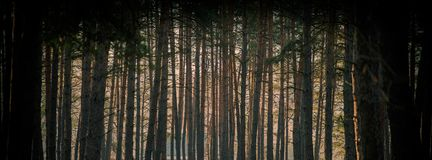 Утро зимы в сосновом лесе и солнце излучает Знамя сети Стоковые Фотографии RF