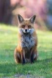 Утро красного Fox Стоковое Изображение