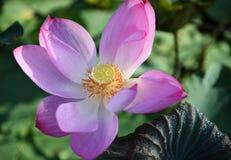 Утро лотоса розовое стоковое фото rf