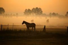 утро лошади тумана стоковые фотографии rf