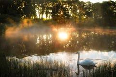 Утро на береге озера лебед стоковое изображение rf