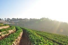 Утро на красивой ферме клубники Стоковая Фотография