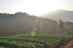 Утро на красивой ферме клубники Стоковые Фотографии RF