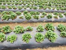 Утро на красивой ферме клубники стоковое изображение rf