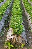 Утро на красивой ферме клубники Стоковое Изображение