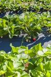 Утро на красивой ферме клубники Стоковые Фото