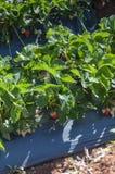 Утро на красивой ферме клубники Стоковые Изображения