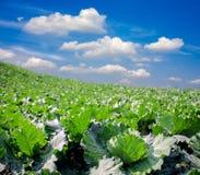 Утро на поле капусты Стоковая Фотография RF