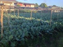Утро на поле капусты Стоковые Изображения RF
