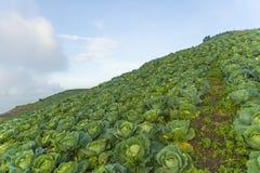 Утро на поле капусты Стоковые Изображения