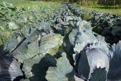 Утро на поле капусты Стоковое фото RF
