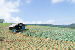 Утро на поле капусты Стоковые Фотографии RF