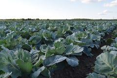Утро на поле капусты Стоковое Изображение RF
