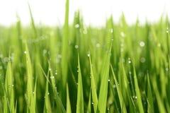 Утро на рисовых полях Стоковое Изображение