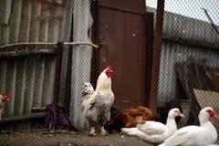 Утро на ферме Стоковые Изображения RF