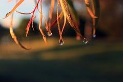 Утро орошает листьев Стоковые Изображения