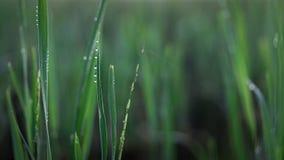 Утро орошает на рисовых полях Стоковые Фото