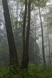 утро осенней пущи ольшаника туманное естественное Стоковые Изображения RF