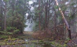 Утро предыдущего весеннего времени туманное в лесе стоковые изображения rf