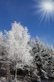Утро рождества солнечное в лесе Стоковое Изображение