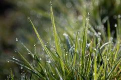 утро травы росы предыдущее Стоковая Фотография RF