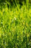 утро травы росы свежее Стоковые Фотографии RF